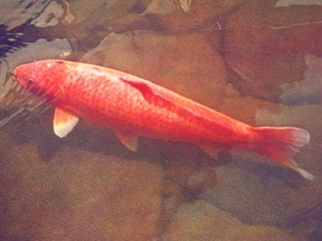 6. Hanako dünyanın en uzun süre yaşayan Koi balığıdır. 226 yıl yaşamıştır. 1751 yılında doğmuş ve 1977 yılında ölmüştür.