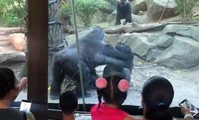New York'da bulunan Bronx Hayvanat Bahçesi'nde iki gorilin yakınlaştıkları anlar, velilerin paniklemesine sebep oldu.