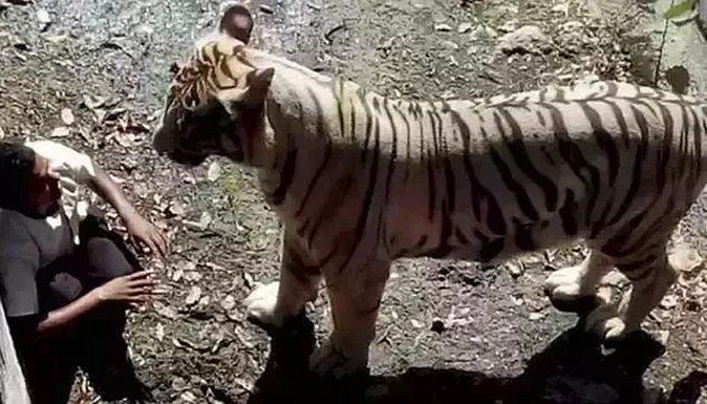 11. Delhi'de bir hayvanat bahçesinde kayarak bir kaplanın kafesine düşen adamın son görüntüsü: