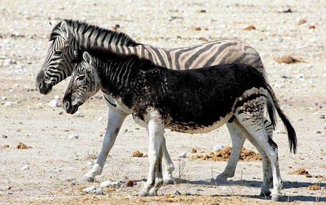 10. Hiperpigmentasyonu olan bir zebra: