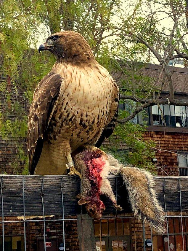 7. Öldürdüğü avını korkusuzca sergileyen kızıl kuyruklu bir şahin: