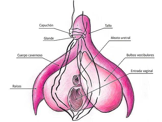 8. Klitoris ve penis aynı embriyonik dokudan oluştuğu için erkek bebekte 12 haftadan sonra klitoris penis büyümeye başlar.