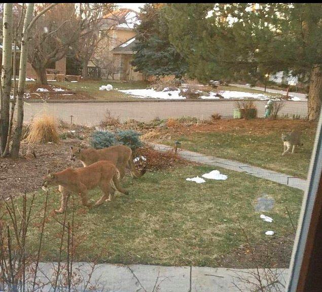 17. Arka bahçenize baktığınızda dağ aslanlarını gördüğünüzü düşünün.