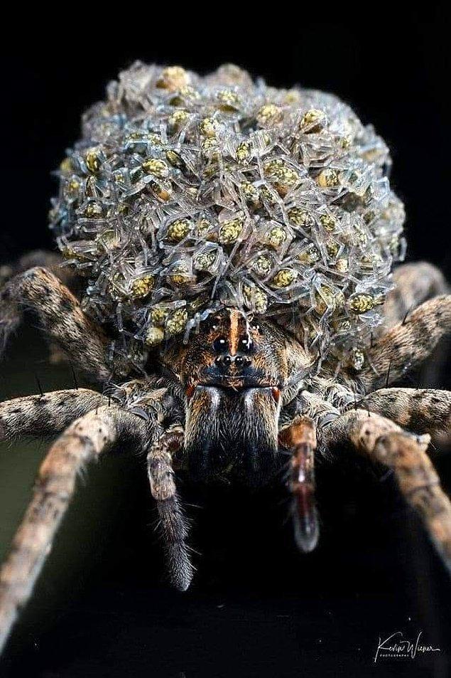 12. Yavrularını üzerinde taşıyan bir kurt örümceği: