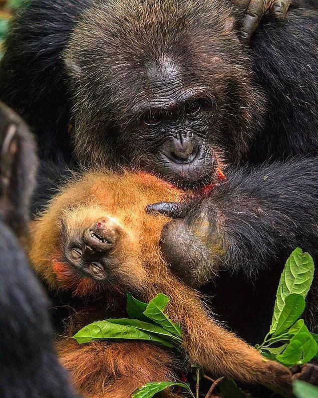 6. Maymun yiyen bir gombe şempanzesi: