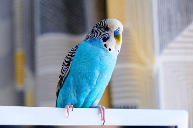 """7. """"Monoküler Görüş"""" olarak adlandırılan görüş yeteneği ile muhabbet kuşları her bir gözünü diğerinden bağımsız olarak hareket ettirebilir."""