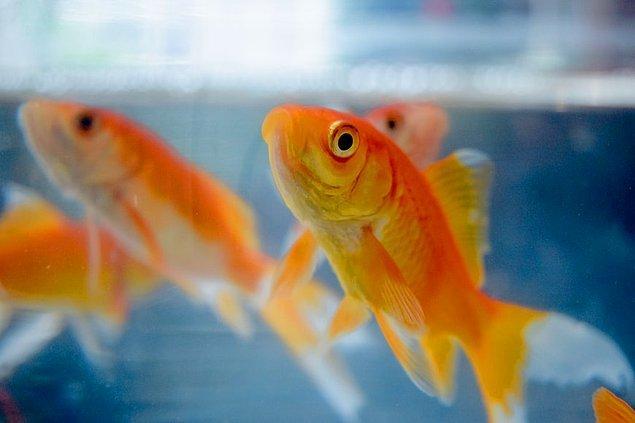 2. Doğru bir bakım ile yetiştirilen Japon balıkları onlarca yıl yaşayabilirler.