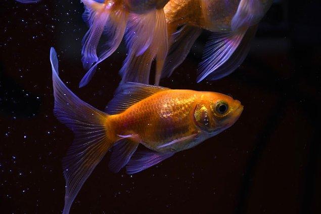 5. Bir Japon balığı bilinenin aksine küçük kalmayıp, bir insan eli boyutuna kadar büyüyebilirler.