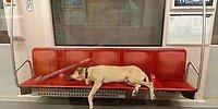 Бездомный пес в Стамбуле самостоятельно пользуется общественным транспортом и наматывает около 30 км в день