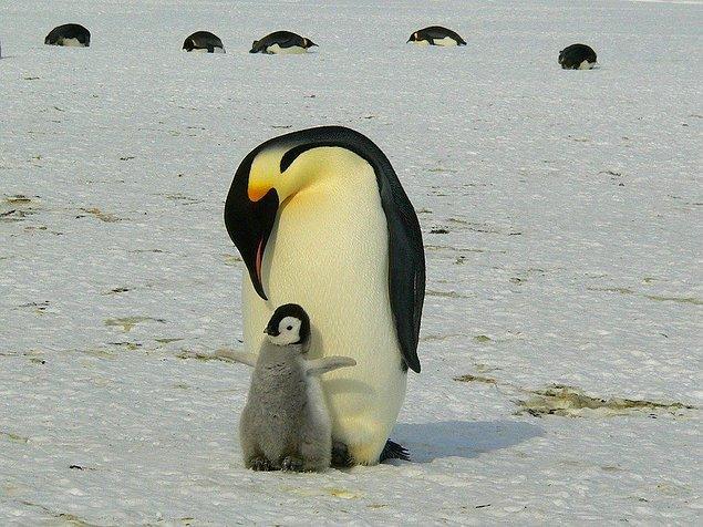 """8. """"Eşimin uykusunda bacağımı okşamasıyla uyanmıştım bir defasında. Ne yapıyorsun diye sordum, bana salakmışım gibi bakıp 'Bebek pengueni seviyorum, görmüyor musun?' dedi."""""""