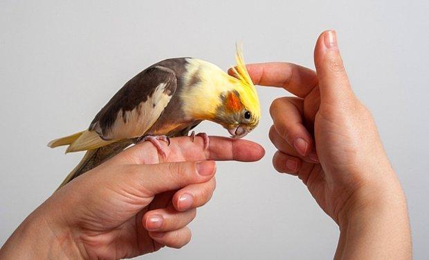 Sultan Papağanı Ne Yer, Nasıl Beslenir?